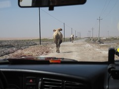 Camels on the road (Bert van Dijk) Tags: china desert camels tengger innermongolia