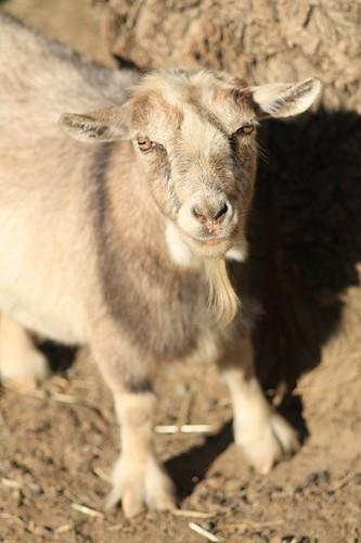 Charlene the goat