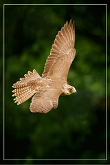 Flight of the Falcon (hvhe1) Tags: bird nature animal speed wings bravo cross searchthebest wildlife flight raptor falcon birdofprey crossbreed gyrfalcon kruising falcorusticolus lannerfalcon falcobiarmicus specanimal giervalk hvhe1 hennievanheerden lannervalk
