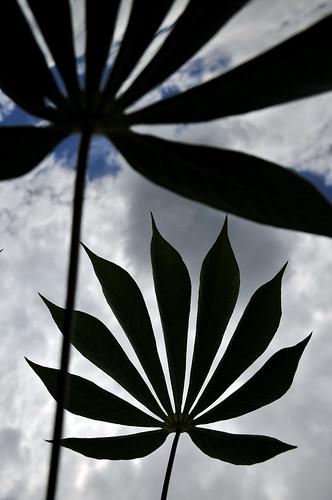 Cassava5