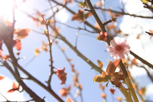 Cherry Blossoms by lareinalea.