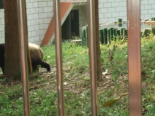 害羞的熊猫