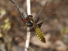 Broad-Bodied Chaser (Megashorts) Tags: uk nature bug insect miltonkeynes dragonfly wildlife buckinghamshire olympus creepy ladybird ladybug e3 50200mm zuiko swd crawly tattenhoe excuseme 2011 zd broadbodiedchaser libelluladepressa shootabootwinner ppdcb4