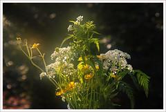 mij-spreekt-de-blomme-een-tale . . . (Don Pedro de Carrion de los Condes !) Tags: licht mood guido bloemen voorjaar blomme donpoedro