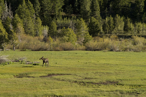 I spotted a Moose grazing in a field