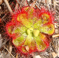 Alice? Oh! THAT Alice!  Flashed Drosera aliciae (Alice Sundew), Fernkloof, Hermanus, South Africa (Rana Pipiens) Tags: dew kalanchoe sundew madagascar pictureperfect drosera naturesfinest anthocyanin supershot bej fineartphotos abigfave alicesundew impressedbeauty diamondclassphotographer flickrdiamond droseraaliciae ishflickr featherbush hermanussouthafrica limoenkop fernkloofnaturereservehermanus alicerasse aliceleblanc raymondhamet raymhamet lomarion journaldebotanique