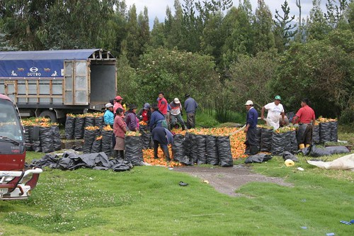 Carrot workers north of Ambato, Ecuador.