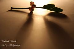 (Photoshoots London) Tags: light art love beauty hope mistletoe pure eternal newday