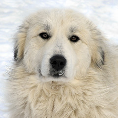 Want hug not portrait (Flint-Hill (away)) Tags: mouse greatpyrenees patou livestockguardiandog x0571