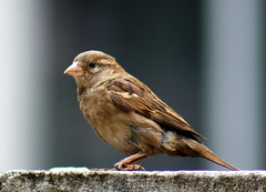 Pardal-comum-fmea - Common Sparrow female (Passer domesticus) (claudio.marcio2) Tags: bird nature natureza pssaro breathtaking pictureperfect naturesfinest allyouneedislove supershot flickrnature golddragon mywinners godnature agradephoto aclassgroup amazingshots avianexcellence prettynaturephotos eperkeaward eye~jewels theworldsbestnaturewildlifeandmacrophotography betterthangood natureunlimited theperfectphotographer dragongoldaward yourpreferredpictures natureselegantshots feathersbeaksbirds worldnaturewildlifecloseup planetaterraeseusanimaisincrveis fantasticwildlife thewonderfulworldofbirds naturegreenstar animaisaoextremo dragonflyawardsgroup superbestshotsonflickr avianphotographygroup