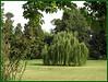 Lágrimas verdes (Canoso.) Tags: madrid tree verde green sauce vert árbol príncipe grün arbre árvore jardines baum asse aranjuez salix llorón babylonica شجرة أخضر saveearth पेड़ हरा
