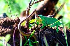 The snake and the chameleon (Arno Meintjes Wildlife) Tags: africa wallpaper nature animal reptile snake wildlife safari chameleon krugernationalpark chamaeleon chamaeleonidae flapneckedchameleon arnomeintjes chamaeleodilepisdilepis