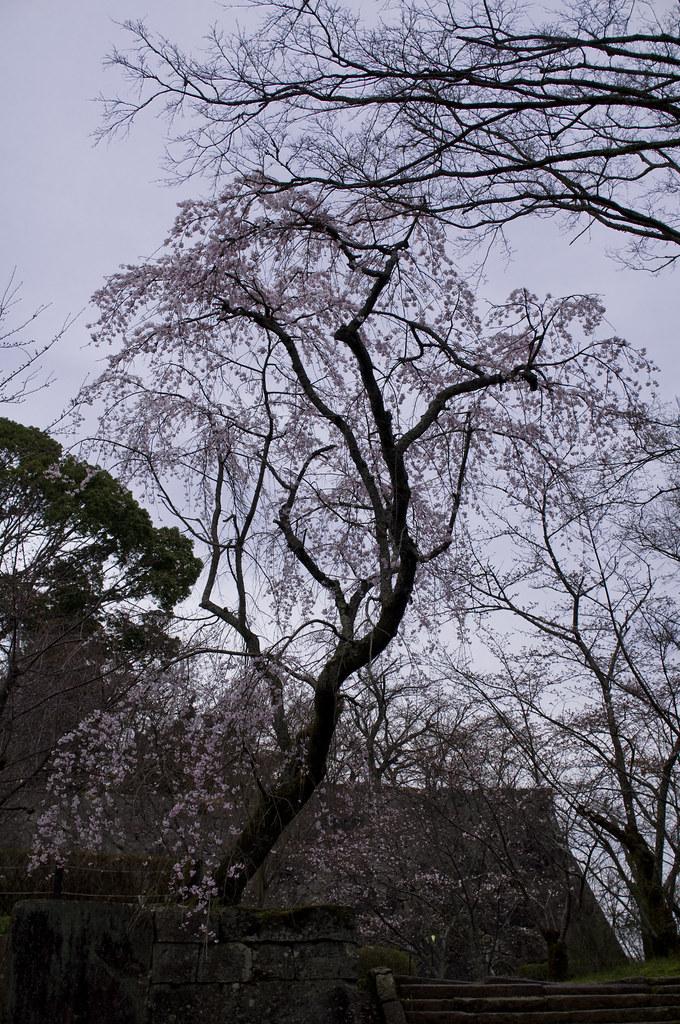 桜 / Cherry Blossom