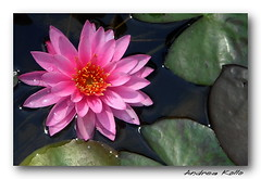 Lily Pond [for Sean] (Andrea Kollo Photography) Tags: flowers flower color nature colors gardens lily lilies lillies lillypad lilypad outofthisworld lilypond gardentour gardentours flowerphotos colorfulflowers naturephoto oakridgesmoraine flowerphotography kingtownship colorphotoaward flowerphotographs shuttersisters naturescreation macromarvels colourfulflower photographersgonewild floralphotographs estategardens andreakollo springhillphotography floralfantasia mostbeautifulpictures springintheair2009