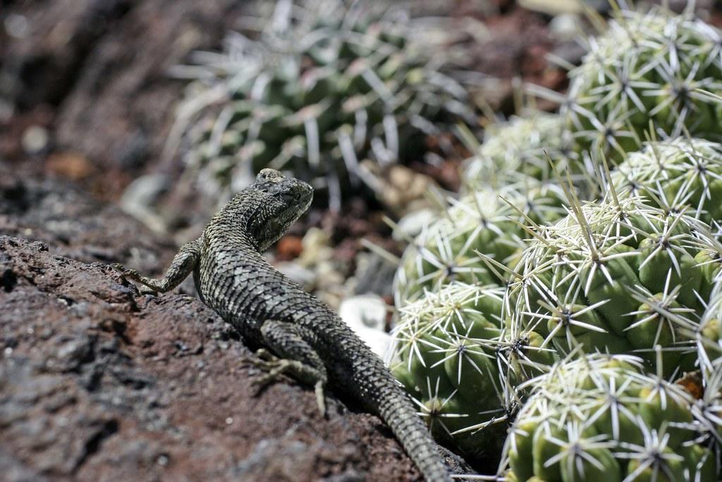 Fent's Lizard