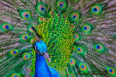 Explosin de colores / Pavo Real (Facu551) Tags: naturaleza color love nature argentina animal fauna canon real san amor peacock explore ave 12 crdoba valentin peafowl pavoreal peacocks pavo birdwatcher conquista cortejo explorefrontpage sx100 colorphotoaward vosplusbellesphotos naturaltonemapped