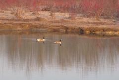 Pair of geese (Garrows5) Tags: like it mmmi hullet