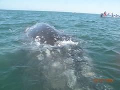 grey whales in san ignacio lagoon - baja california (m_uhlig) Tags: grey friendly bajacalifornia whales greywhales sanignaciolagoon