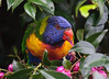 From our back door (dicktay2000) Tags: rainbowlorikeet canonef100400mmf4556lisusm featheryfriday impressedbeauty avianexcellence pfogold thechallengefactory