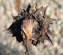 Sunflower (foxypar4) Tags: old uk brown plant flower garden scotland birdseed bokeh decay sunflower sutherland spilt dornoch