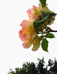 15966- 玫瑰 꽃 연분홍 장미 Rose (Rolye) Tags: flowers france flower fleur colors fleurs yahoo google view image great picture samsung blumen www images best views excellent com msn aol baidu tw thebest ops 薰衣草 çiçekler lehavre 꽃 鲜花 玫瑰 цветы 法国 粉红色 장미 明信片 玫瑰花 nv7 라벤더 attnet 연분홍 颜色图像