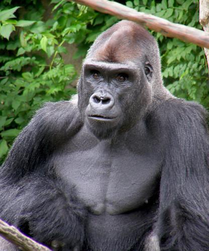 ZUZA; a western lowland silverback gorilla.
