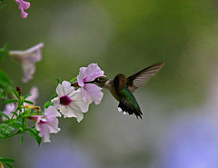 So Sweet (soccersc(Jim Allen)) Tags: bird birds wildlife hummingbirds charlestonsc interiordesign birdwatcher rubythroatedhummingbird summervillesc archilochuscolubris naturesfinest wildlifeart wildlifephotography specanimal fineartprints wingedwonders theunforgettablepictures platinumheartaward theperfectphotographer 100commentgroup vosplusbellesphotos dragondaggerphoto dragondaggeraward artofimages thecelebrationoflife ablackrose soccersc lakeashborough magicunicornverybest magicunicornmasterpiece mygearandme mygearandmepremium mygearandmebronze mygearandmesilver naturallyjimallen