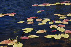 20090709 Lily Pads