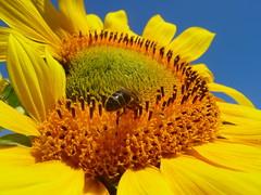 Sunflowers in Zabalgana 3