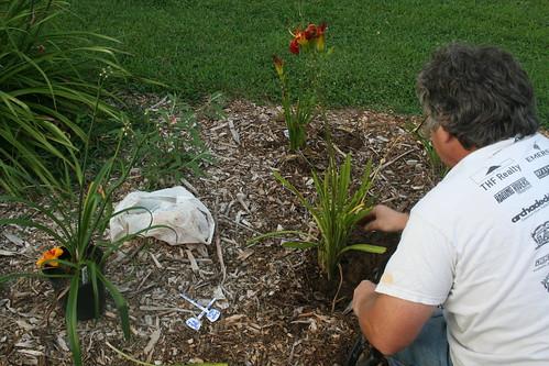 planting new daylilies