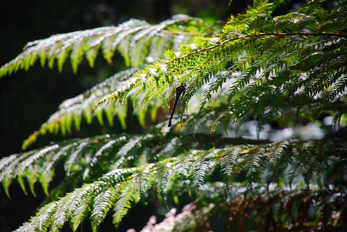 Kauri Forest, New Zealand