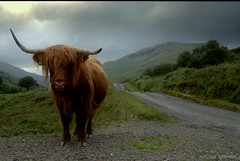 Take the high road ...... (Nicolas Valentin) Tags: road scotland ginger cow xx horn glendouglas thebestofday gününeniyisi