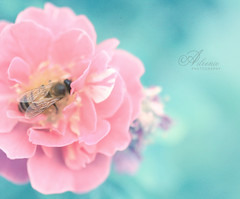 Life of a bee (Aileenie) Tags: pink blue flower macro nature rose garden petals wings bokeh bee pollen landed