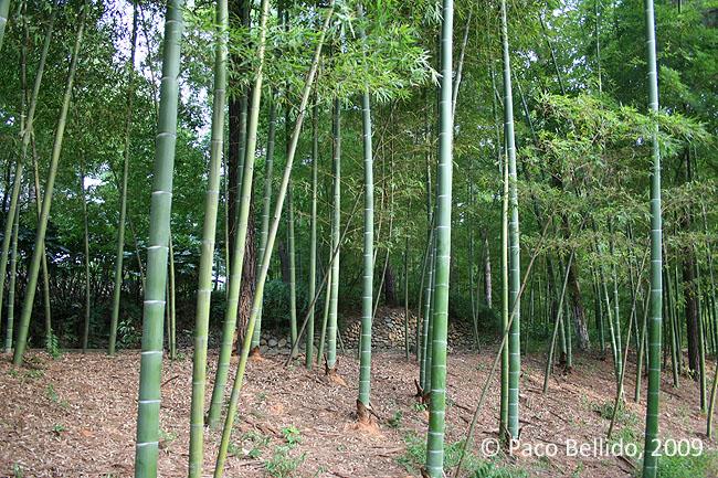 Árboles de bambú en Anji. © Paco Bellido, 2009