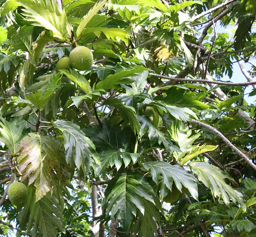 Breadfruit in Vanuatu