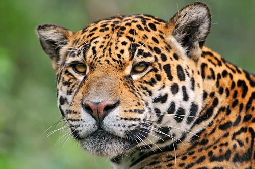 フリー画像| 動物写真| 哺乳類| ネコ科| ジャガー|       フリー素材|