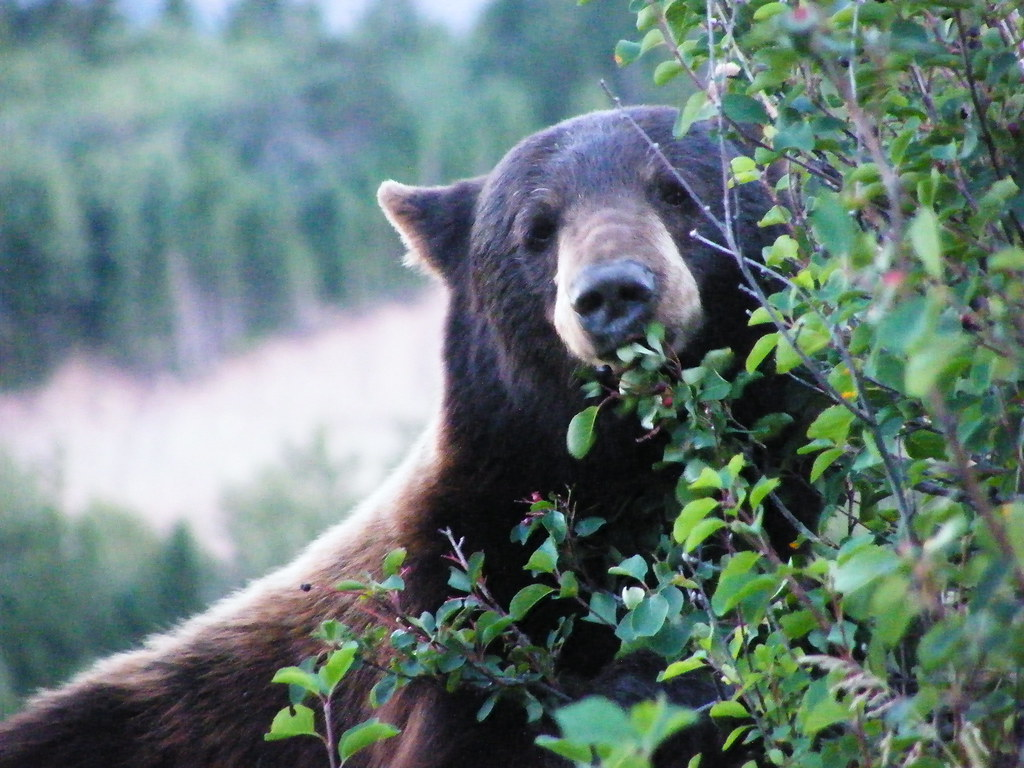 grizzly (Waterton NP)