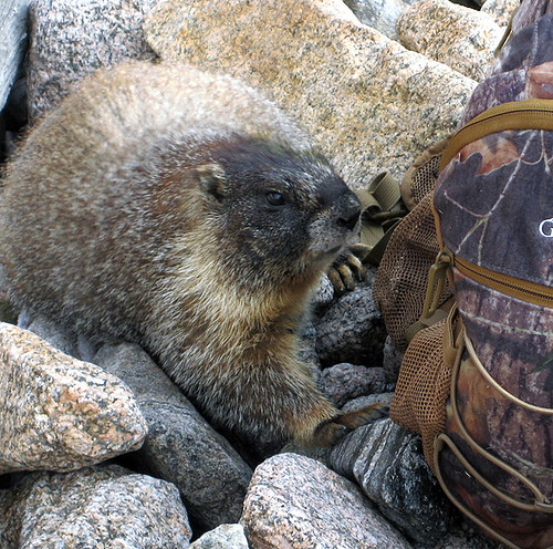 Evil Marmot