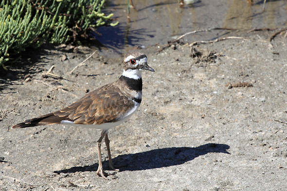 154_killdeer_sm