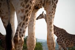 Entre deux (orang_asli) Tags: africa nature animals southafrica mammal nationalpark champs fields giraffe imfolozi girafe lieux afrique mammifère aficionados faune bushveld naturel afriquedusud savane parcnational géographie gographie mammifre