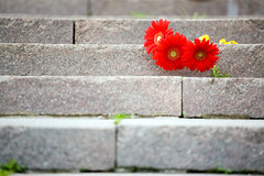 Red gerbera flowers (alexey05) Tags: flowers red plant abstract color green abandoned love broken beautiful beauty closeup stairs three spring symbol background postcard steps decoration petal staircase gerbera frame bunch bud
