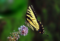 Finding nectar (bdaryle) Tags: flower nature yellow butterfly wings sony nectar perched swallowtail easterntigerswallowtail brandondaryle bdaryle imagesbybrandon