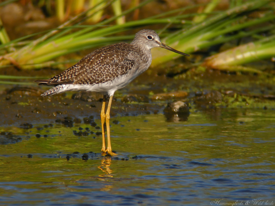 Greater Yellowlegs09096