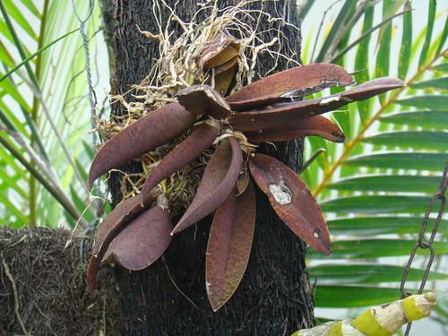 Oncidium Cohniella Cebolleta , Orquídea Lophiaris de Goiás