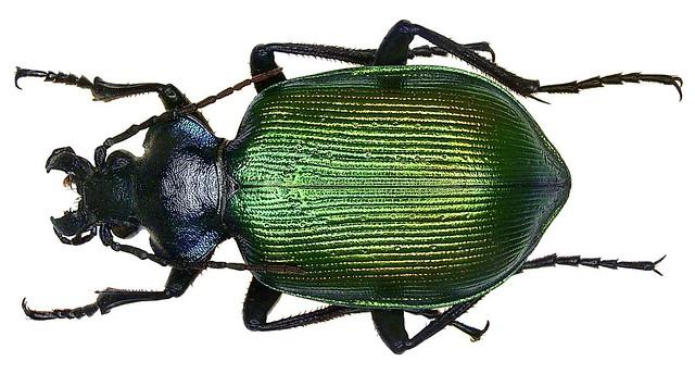 Calosoma sycophanta (Linné, 1758)