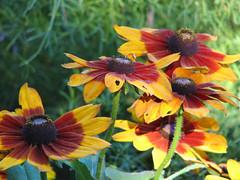 Flowers in Riverside Park 2006 (Harris Graber) Tags: flowers blackeyedsusan riversidepark