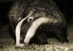 Badger worm hunting (Andreas-photography) Tags: 50mm nikon andrea wildlife badger hungry essex d300 foraging t189 gnpc