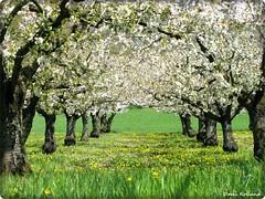 Les Cerisiers (Domi Rolland ) Tags: france nature fleur europe aveyron cerisiers midipyrnes theunforgettablepictures compeyre natureselegantshots