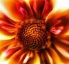 Firebloom (Jose Luis Mieza Photography) Tags: flowers flores flower fleur fleurs flor fflower benquerencia florews reinante jlmieza reinanteelpintordefuego joseluismieza