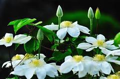 Clematis (hidesax) Tags: flowers white japan nikon clematis saitama nikkor whiteflowers goldenweek ageo d5000  hidesax nikond5000 vrzoomnikkored70300mmf4556g idontknowthenameofthese